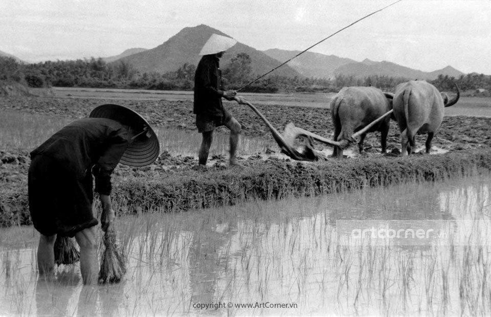 Nha Trang xưa - Cày ruộng - Land ploughing - Nha Trang - 1963