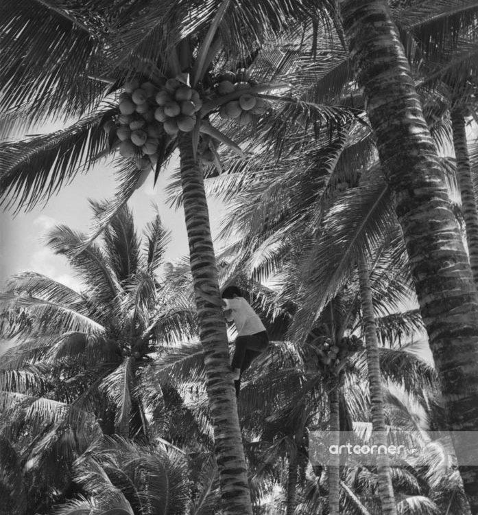 Nha Trang xưa - Hái dừa - Coconut picking - Nha Trang - 1962