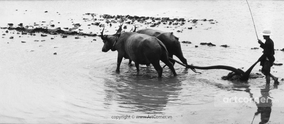 Nha Trang xưa - Cày ruộng - Ploughing - Nha Trang - 1959