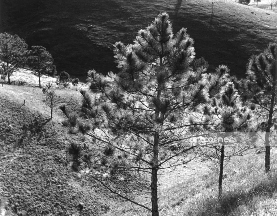 Đà Lạt xưa - Pine Forests - Rừng Thông - Đà Lạt - 1973