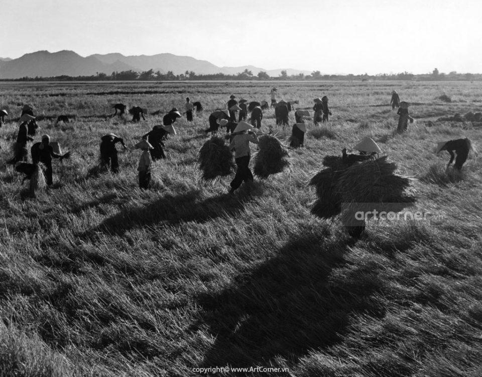 Nha Trang xưa - Thu hoạch lúa trên đồng - Harvest time - Nha Trang -1959