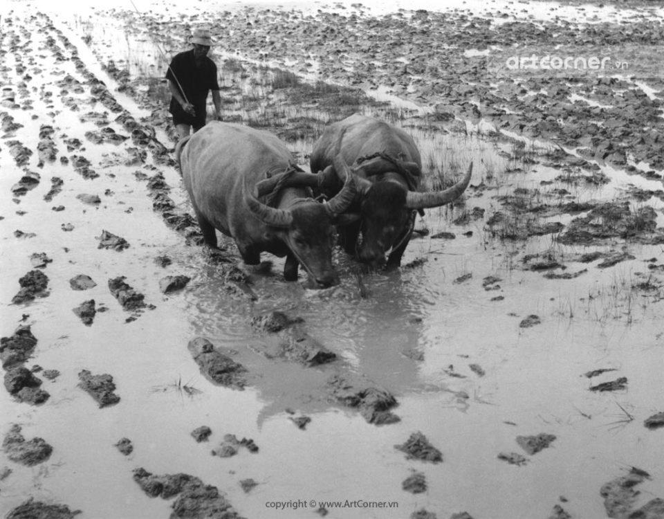 Nha Trang xưa - Cày ruộng - Land ploughing - Nha Trang - 1959