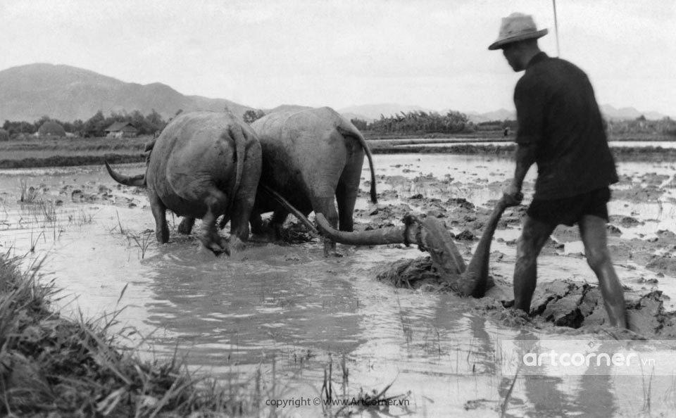 Nha Trang xưa - Cày ruộng - Ploughing - Nha Trang - 1963
