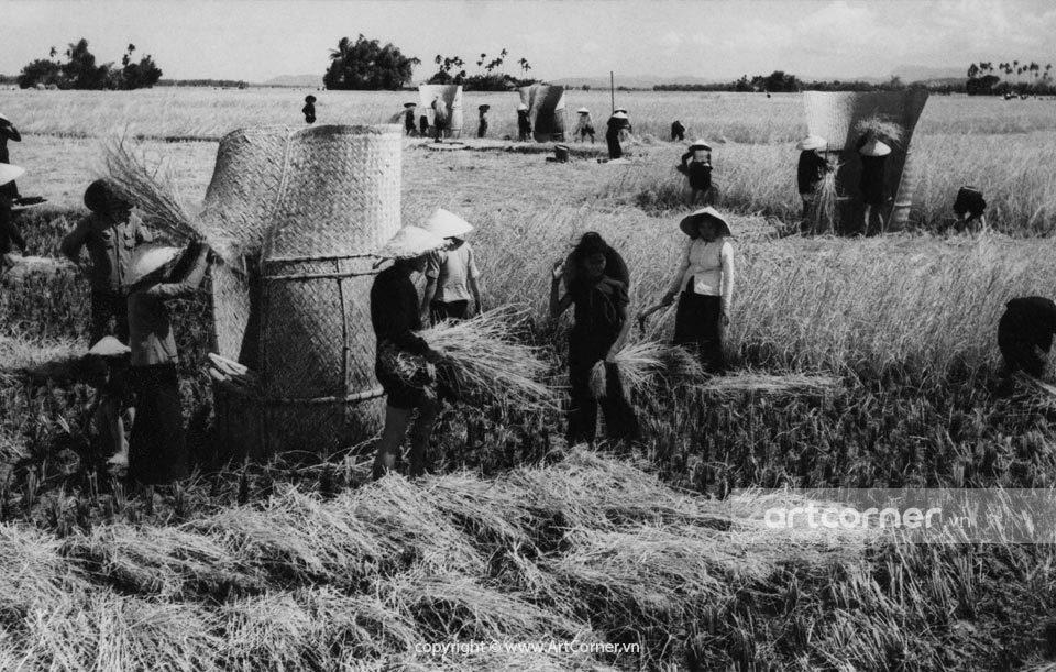Nha Trang xưa - Mùa gặt - Nha Trang - 1959